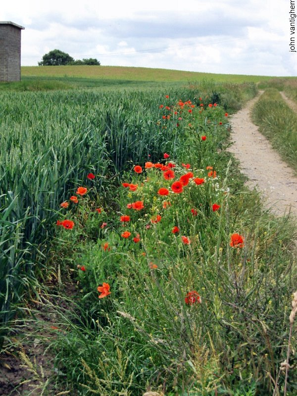 trail and red poppies